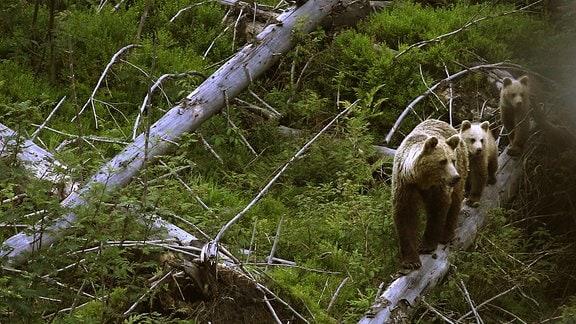 Umgestürzte Bäume nach einem Sturm bieten den Bären gute Deckung.