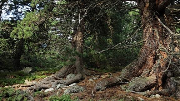 In der Hohen Tatra gibt es noch größere Bestände von uralten Zirbelkiefern. Manche sind bereits über 1000 Jahre alt.