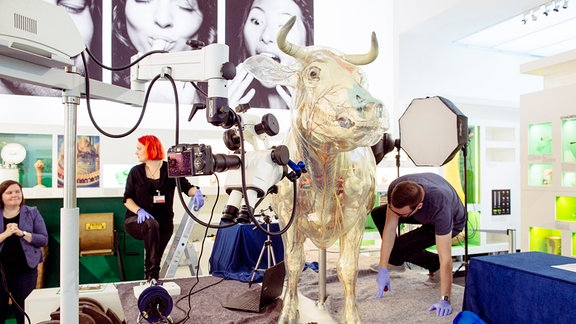 Wissenschaftler nehmen Messungen an Glaeserner Kuh im Hygienemuseum vor.