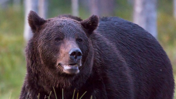 Braunbär, Wappentier Kareliens.