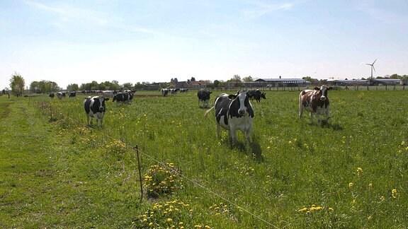 Die Kühe vom Milchbauernhof Lenz genießen die Frühlingswiesen.