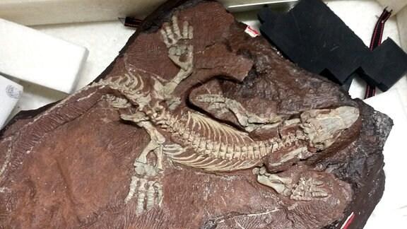 Saurier-Fossili aus dem Bromacker in Thüringen.