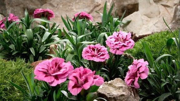 Der Steingarten zeichnet sich durch seine sonnige und trockene Lage aus. Viele Pflanzen wie die Steinnelke stammen aus Gebirgen.
