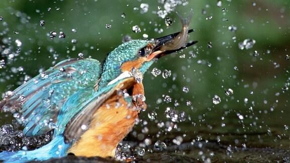 Eisvogel taucht nach erfolgreichem Fang wieder aus dem Wasser auf