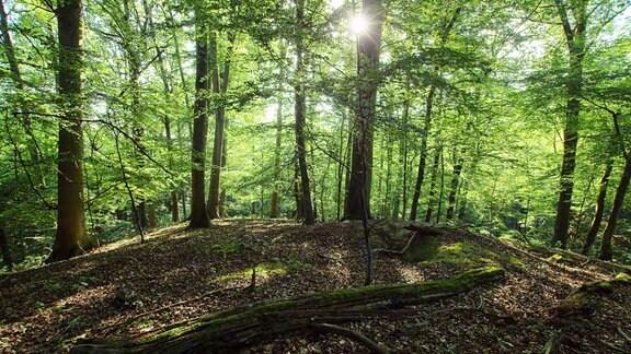 In der Hohen Schrecke hat sich auf wundersame Weise ein Wald erhalten, wie er ohne Zivilisation überall bei uns wachsen würde - der typisch deutsche Wald, mit riesigen, uralten Buchen.