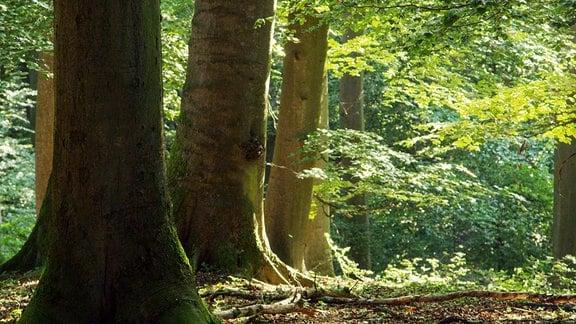 """Mächtige silber-graue Stämme tragen das Kronendach des Waldes – sie sind die Säulen des """"Buchendoms""""."""