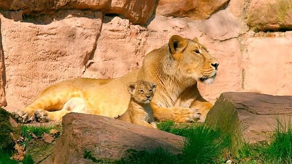 Eine Indische Löwin mit Jungen.