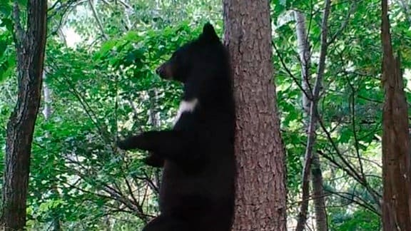 Ein Kragenbär markiert einen Baum.