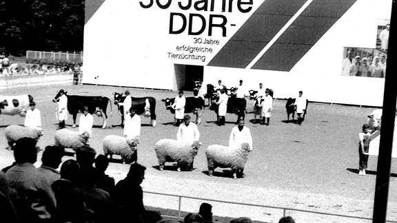 Zuchtausstellung anlässlich 30 Jahre DDR - Zu dieser Zeit lebten 2,2 Millionen Schafe in Ostdeutschland.