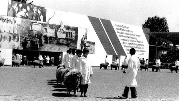 Leistungs- und Zuchtausstellungen waren ein wichtiger Eckpfeiler im Schafprogramm der DDR. Aufnahme aus den 1970er Jahren.