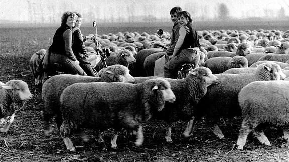 Jugendbrigade Schafzucht im VEG Tierzucht Barby. Aufnahme Mitte der 1970er Jahre