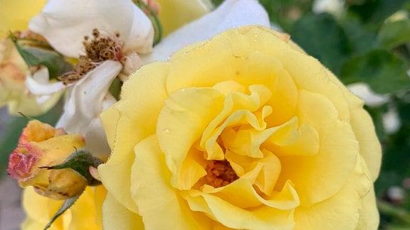 Nahaufnahme der Blüte einer gelben Rose.