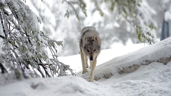 Wolf in einem verschneiten Wald