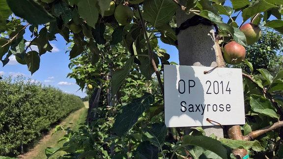 """Die Apfelsorte """"Saxyrose"""" hat einen wohlklingenden Namen."""