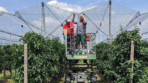 Hagelnetze spannen in Obstplantage Meissen