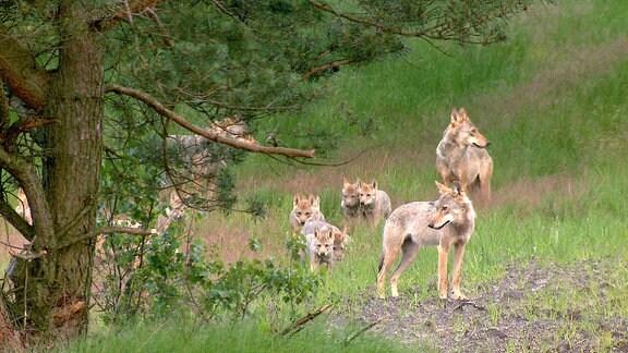 """Das Munsterrudel macht es vor: In einem wilden Wolfsrudel ziehen die Elternwölfe die kleinen Welpen zusammen mit ausgewachsenen """"Kindern"""" aus dem Vorjahr auf."""