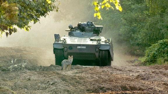 Auf dem Truppenübungsplatz bei Munster herrscht intensiver Betrieb durch Menschen und Fahrzeuge direkt am Treffpunkt der Wolfsfamilie. Die Welpen gewöhnen sich daran und laufen nicht mehr vor den Panzern davon.