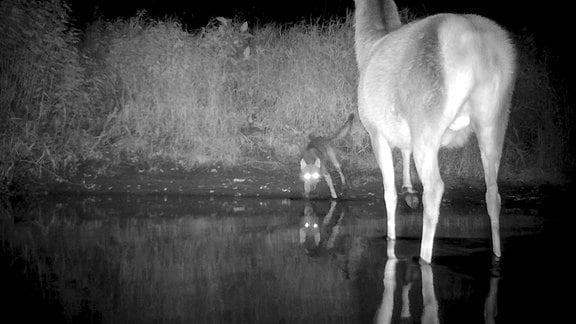"""Mittlerweile gibt es auch in Bayern wieder wilde Wölfe. Mit Infrarotkameras gelang es zu filmen, wie ein Wolf einen Rothirsch """"testet""""."""