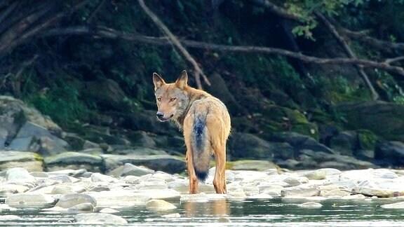 Wolf an einem Bachufer