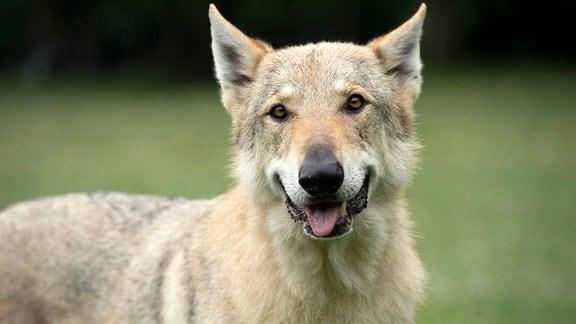 Eine Wölfin versetzt Hamburg in Angst und Schrecken.