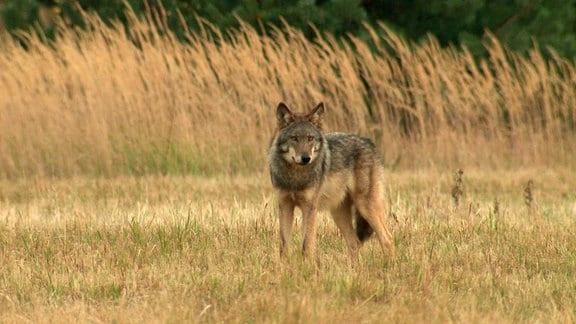 Wölfe sind auch am Tage unterwegs, sind aber nach wie vor ein seltener Anblick.