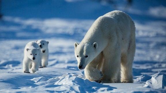 Ein Eisbärweibchen ist mit zwei Jungtieren unterwegs.