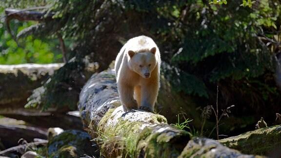 """Ein """"Geisterbär"""" (Kermodebär) läuft auf einem liegenden Baumstamm."""