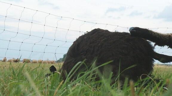 Schafe werden gelegentlich Opfer von Wolfsattacken, zum Beispiel wenn der Elektrozaun durchhängt.