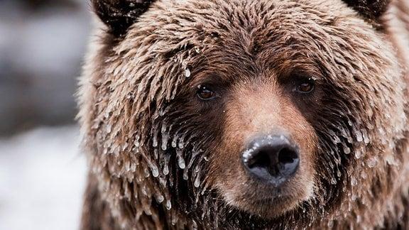 Im Fell des Grizzlybären hängen Eiszapfen.