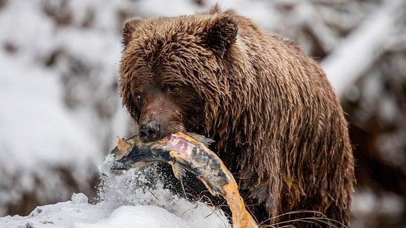Ein Grizzlybär hat einen Ketalachs erbeutet.