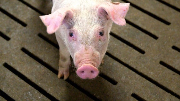 Ein Schwein blickt in die Kamera.