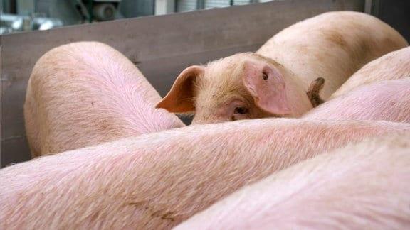 Ein Schweineleben: 120 Kilo Gewicht und so viel Platz pro Tier wie in einer Standardbadewanne.
