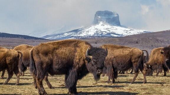 Die Prärie ist die Heimat eines der markantesten Tiere Nordamerikas - den Bisons. (im Hintergrund das Gebirgsmassiv Castle Mountains)