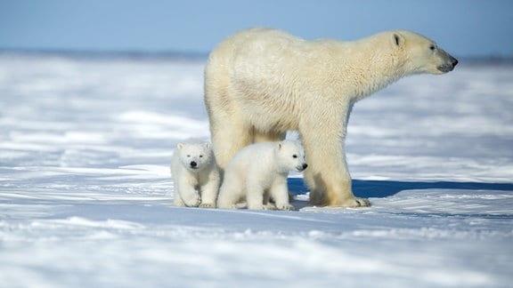 Eine Eisbärmutter mit ihren Jungen.