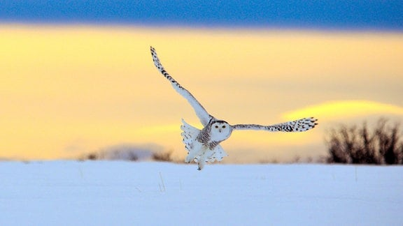 Der majestätische Flug einer Schnee-Eule.