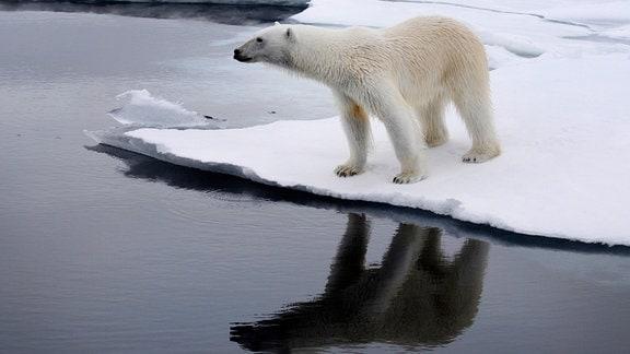 Ein junger Eisbär entdeckt eine Robbe.