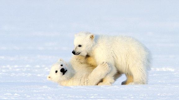 Zwei  junge Eisbären