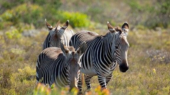 Zebras suchen im kargen Fynbos nach Fressbarem.