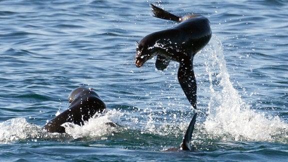 Eine Gruppe Seebären begibt sich auf die Jagd nach Kaptölpel-Jungen, die bei ersten Flugversuchen ins Wasser stürzen.