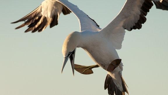 Kaptölpel sind elegante Flieger, doch bei der Landung in der Kolonie legen sie meist eine Bruchlandung hin