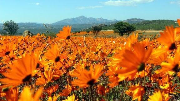 Während der Blütezeit in Namaqualand erstrahlen manche Flächen in einer einzigen Farbe.