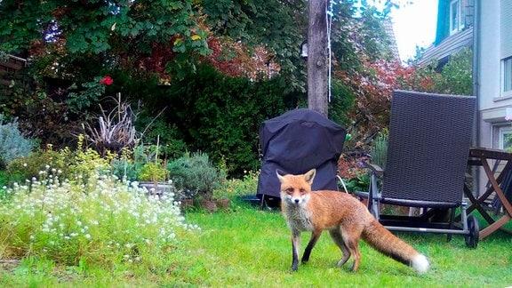 Fuchs in einem Berliner Garten, schätzungsweise 1600 Füchse leben in Berlin