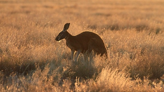 Känguru im Steppengras