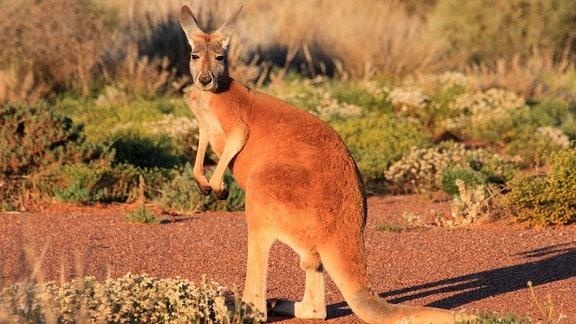Känguru in der Sonne