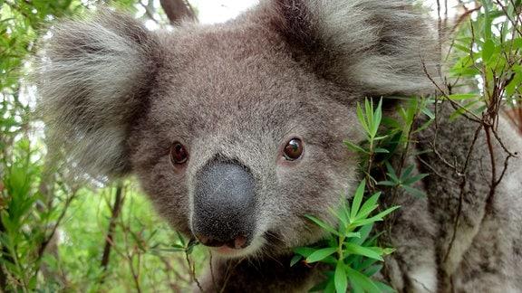 Am Geruch erkennen Koalas, wie nahrhaft die Eukalyptusblätter um sie herum sind. Sie fressen nur ganz bestimmte Sorten und am liebsten junge Blätter – die sind nährstoffreicher.