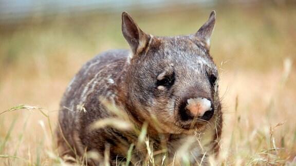In der Ruhe liegt die Kraft: Der Südliche Haarnasenwombat verschläft den Tag meistens in seinem Bau und geht erst auf Futtersuche, wenn die schlimmste Hitze im Süden Australiens nachlässt.