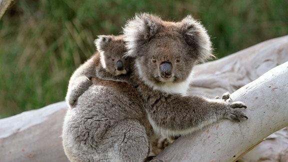 Huckepack auf dem Rücken der Mutter entdecken Koalas die Welt der Eukalyptuswälder Australiens.