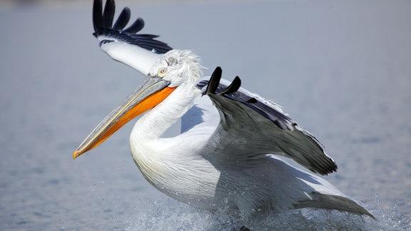 Ein Krauskopf-Pelikan am Kerkini-See. Hier ist das Überwinterungsgebiet einer der größten Pelikan-Kolonien der Welt.