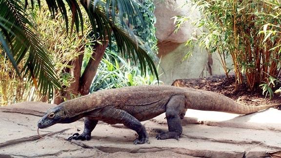 Komodowaran im Zoo Leipzig im Gondwanaland