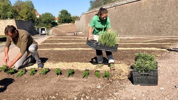 Im September 2020 kamen im Festungsgraben der Zitadelle Petersberg die ersten Kräuter in die Erde. Auf der gesamten Fläche entstehen Beete mit Arznei- und Gewürzpflanzen, alten Gemüsesorten sowie Faser- und Färbepflanzen.
